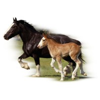 Click to order printed t-shirt y2791... Clydesdale Mare & Foal youth sized print